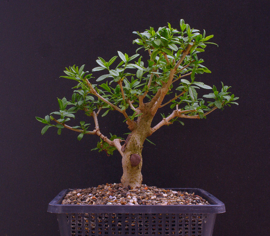 liguster ligustrum vulgare als bonsai. Black Bedroom Furniture Sets. Home Design Ideas