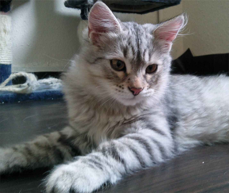 Sibirische Katze Allergie Eine Sibirische Katze