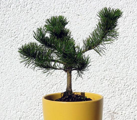 bonsai ratgeber forum gestaltung pinus mugo. Black Bedroom Furniture Sets. Home Design Ideas