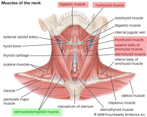 Halsmuskulatur || Med-koM