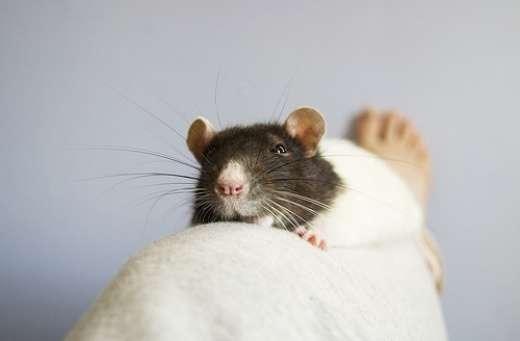 Szczurki 2