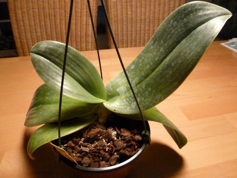 Phalaenopsis gigantea P1000295n8kz9