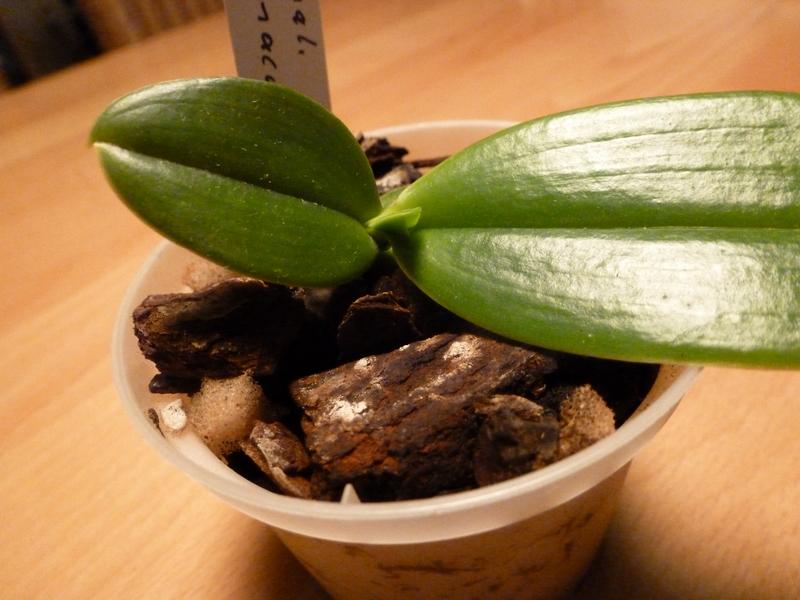 Phalaenopsis maculata P1000330supde