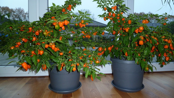 habanero pastel capsicum chinense chiliforum hot. Black Bedroom Furniture Sets. Home Design Ideas