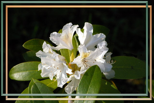 [Bild: rhododendron19b5g.jpg]