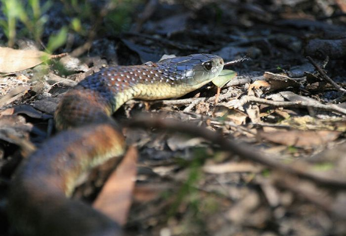 Najgroźniejsze węże 12