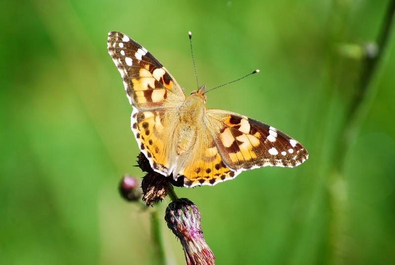 und noch Schmetterlinge.... Sonnenberg-oderteich20abhq
