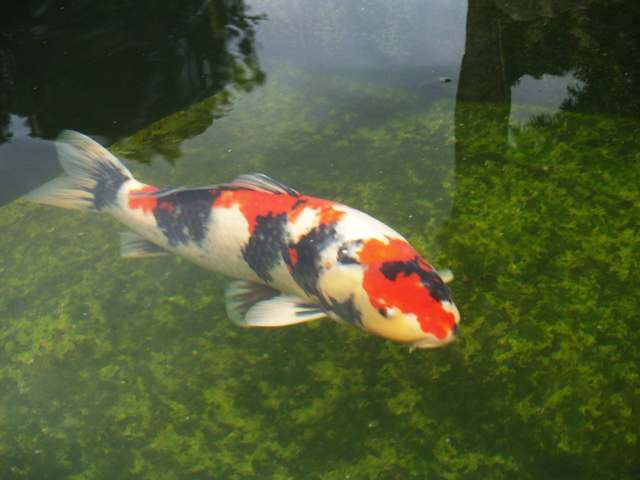 Thema anzeigen teichaufl sung alle fische zu for Welche fische passen zu kois