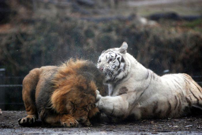 Biały tygrys 20