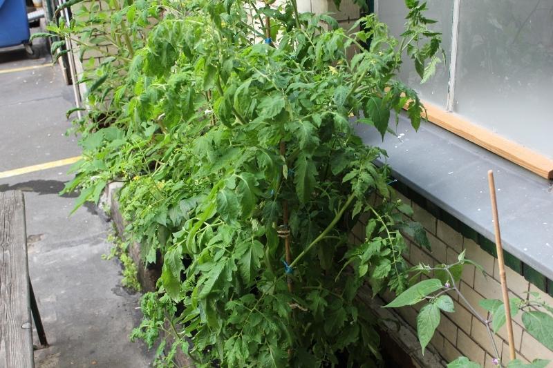 tomaten beim scharfsch tzen chiliforum hot. Black Bedroom Furniture Sets. Home Design Ideas