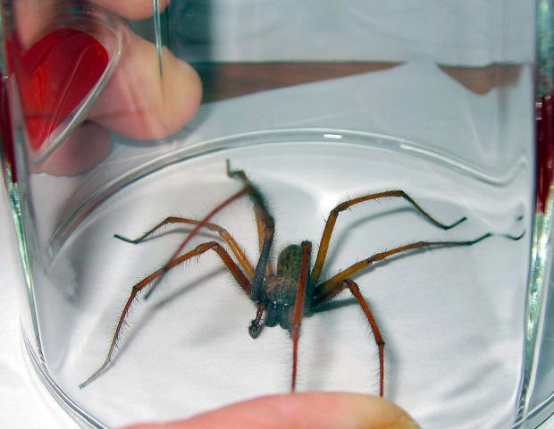 was ist das f r eine spinne spinnentiere arachnida. Black Bedroom Furniture Sets. Home Design Ideas