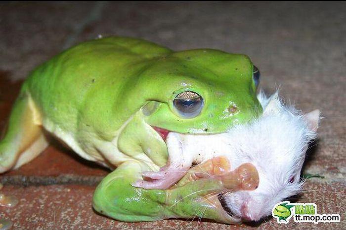 Drapieżna żaba 4