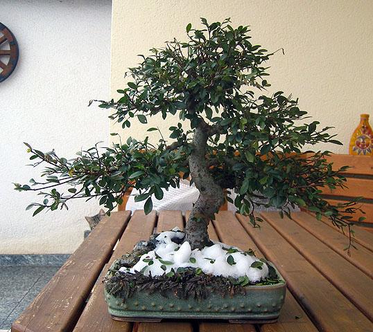 Zitronenbaum bonsai