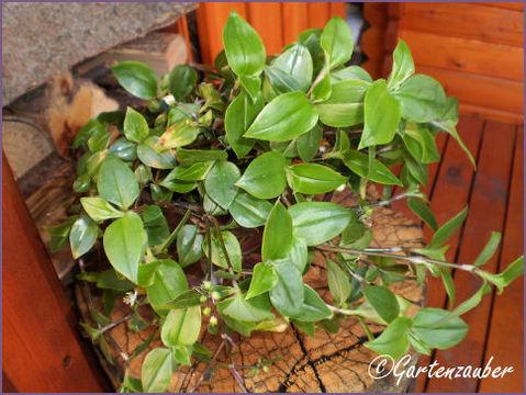 dreimasterblume - pflege, braune flecken - hausgarten, Garten seite