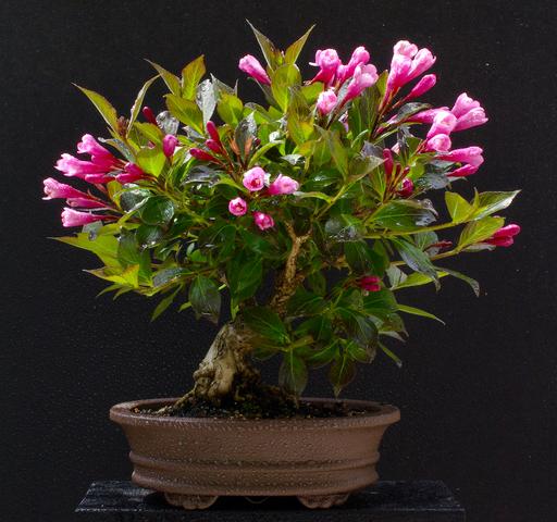 gibt es im forum bonsaifreunde seite 9 garten. Black Bedroom Furniture Sets. Home Design Ideas