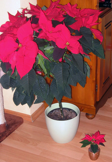 wie bekomme ich meinen weihnachtsstern wieder rot. Black Bedroom Furniture Sets. Home Design Ideas
